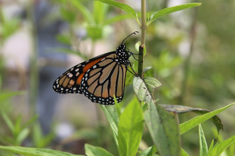 Watershed Celebrates with Butterfly Festival