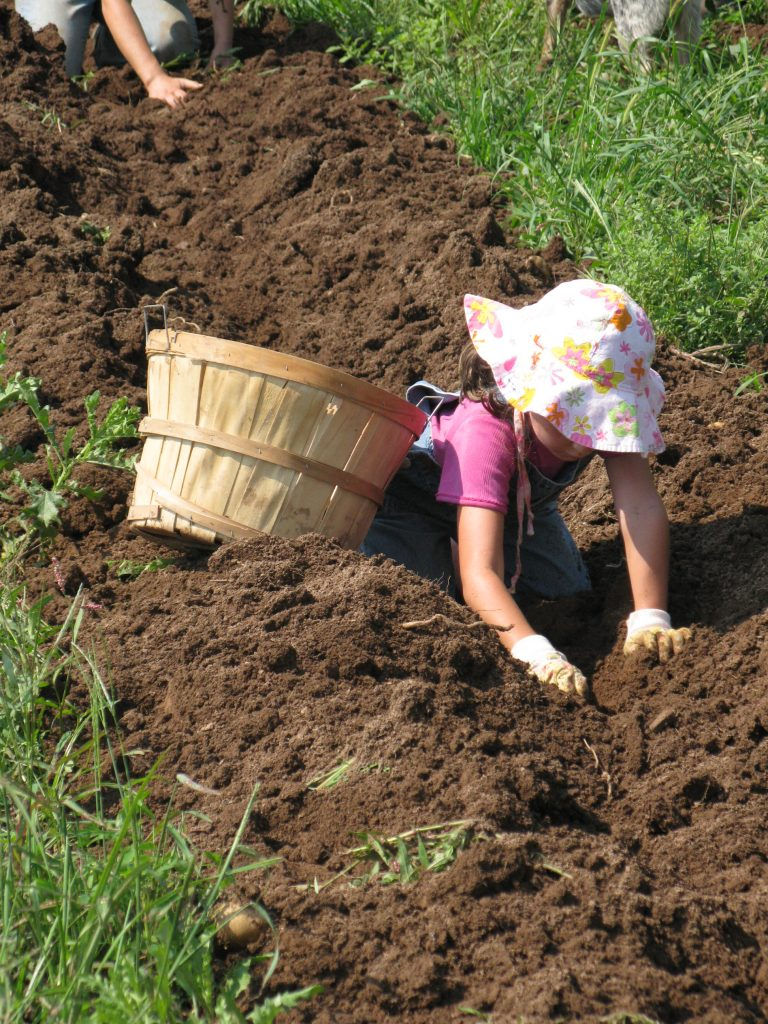 Potato harvest at Howell Farm to benefit local hunger projects