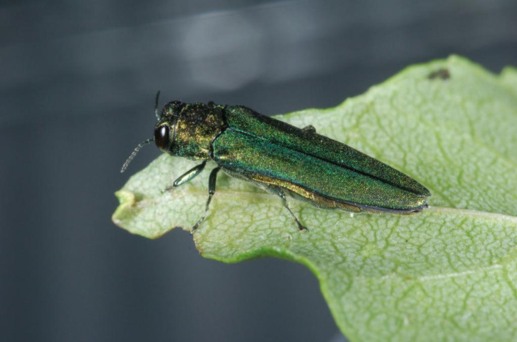 The Emerald Ash Borer beetle