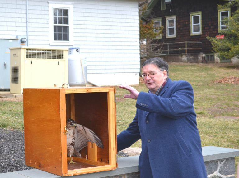 Red-tailed hawk released back into the wild