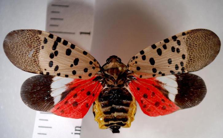 Penn State Master Gardeners provide tips for killing spotted lanternflies